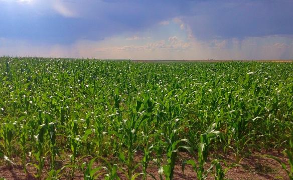 Corn Field North Dakota