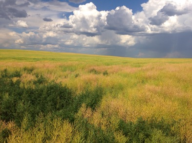 Sweet Clover field in North Dakota